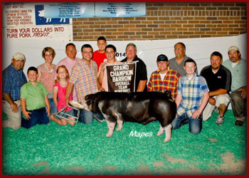 Miller Showpigs Champion